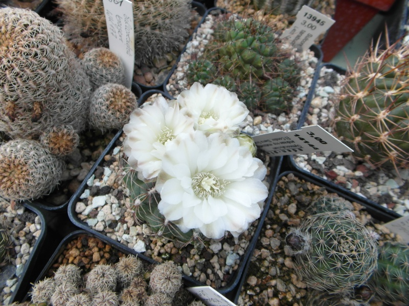 Cacti and Sukkulent in Köln, every day new flowers in the greenhouse Part 47 Bild_576
