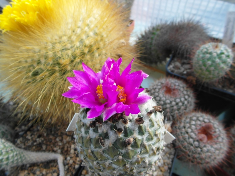 Cacti and Sukkulent in Köln, every day new flowers in the greenhouse Part 47 Bild_583