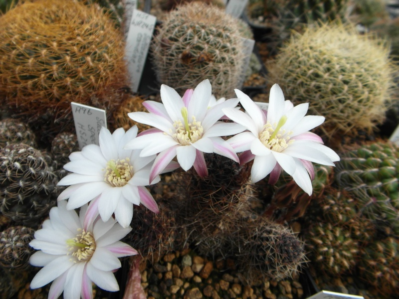 Cacti and Sukkulent in Köln, every day new flowers in the greenhouse Part 47 Bild_585