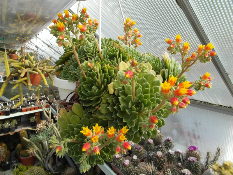 Cacti and Sukkulent in Köln, every day new flowers in the greenhouse Part 47 Bild_587