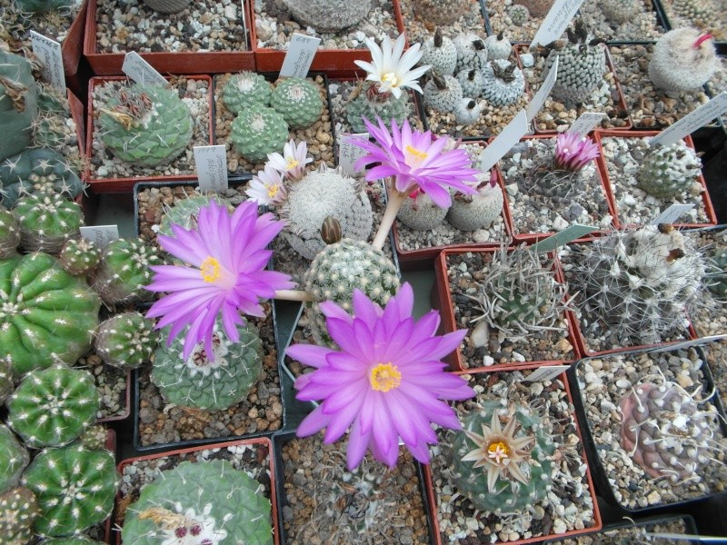 Cacti and Sukkulent in Köln, every day new flowers in the greenhouse Part 47 Bild_593