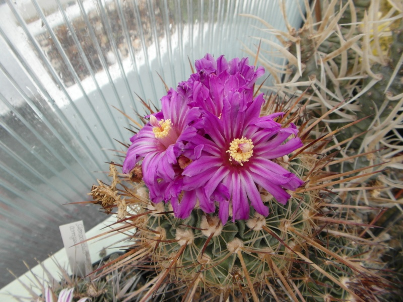 Cacti and Sukkulent in Köln, every day new flowers in the greenhouse Part 47 Bild_594