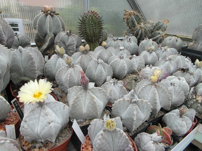 Cacti and Sukkulent in Köln, every day new flowers in the greenhouse Part 47 Bild_596