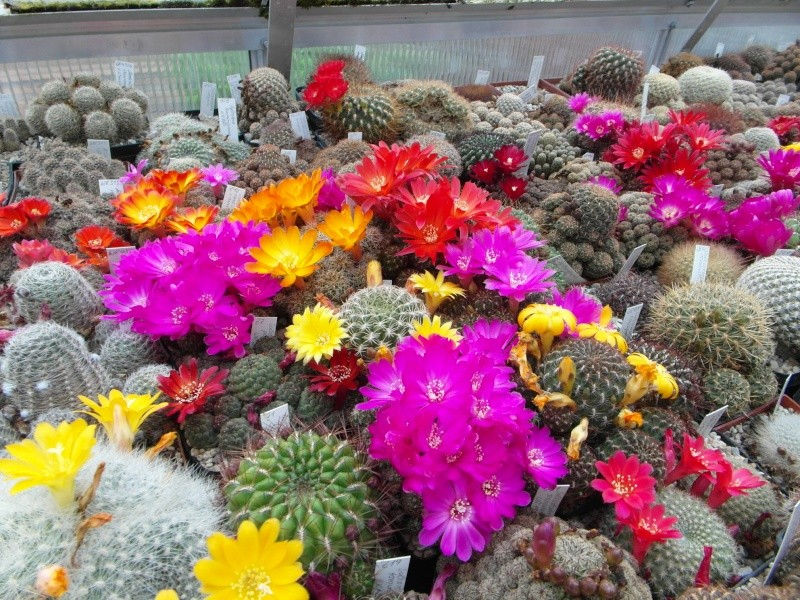 Cacti and Sukkulent in Köln, every day new flowers in the greenhouse Part 47 Bild_598