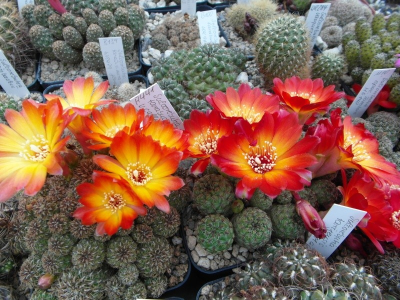 Cacti and Sukkulent in Köln, every day new flowers in the greenhouse Part 47 Bild_599