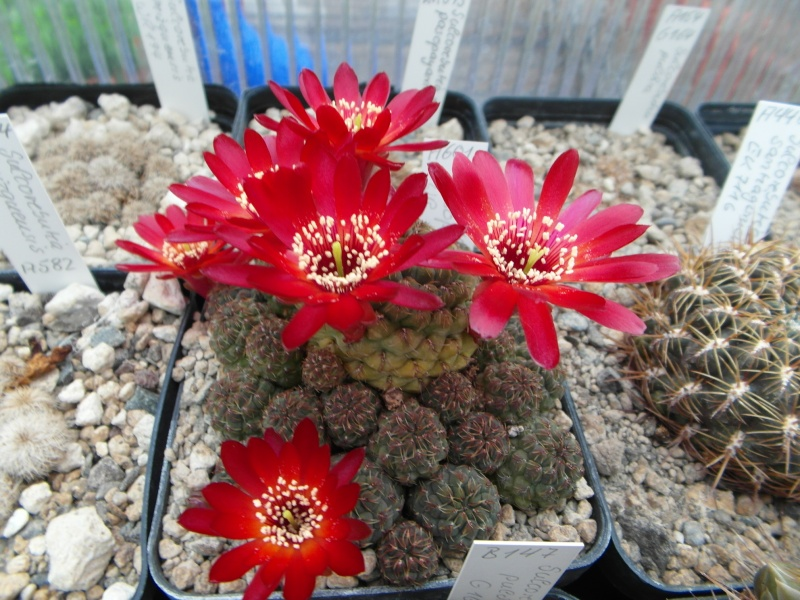 Cacti and Sukkulent in Köln, every day new flowers in the greenhouse Part 47 Bild_600