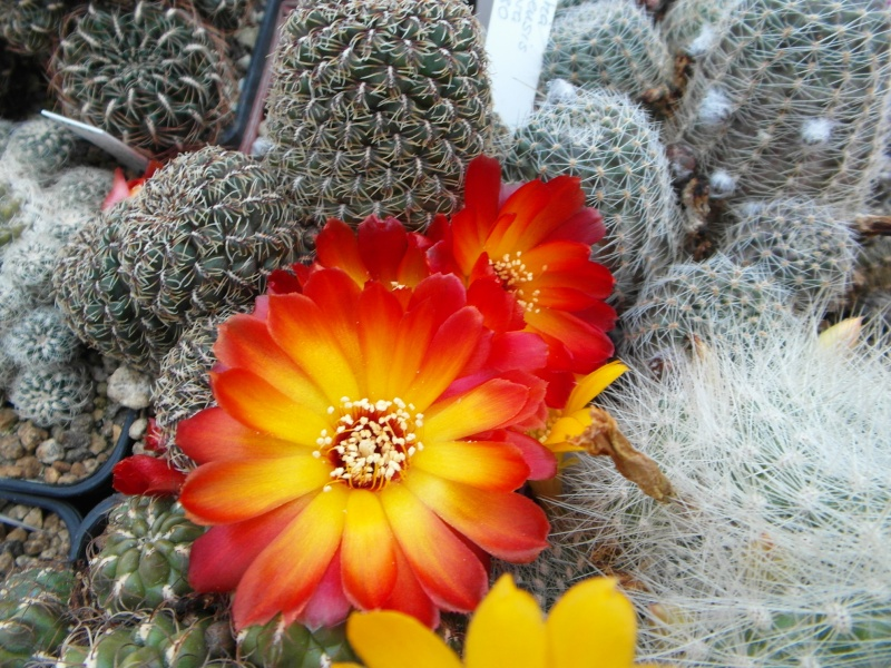 Cacti and Sukkulent in Köln, every day new flowers in the greenhouse Part 47 Bild_603