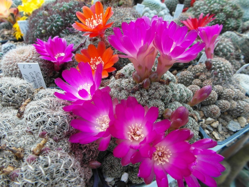 Cacti and Sukkulent in Köln, every day new flowers in the greenhouse Part 47 Bild_604