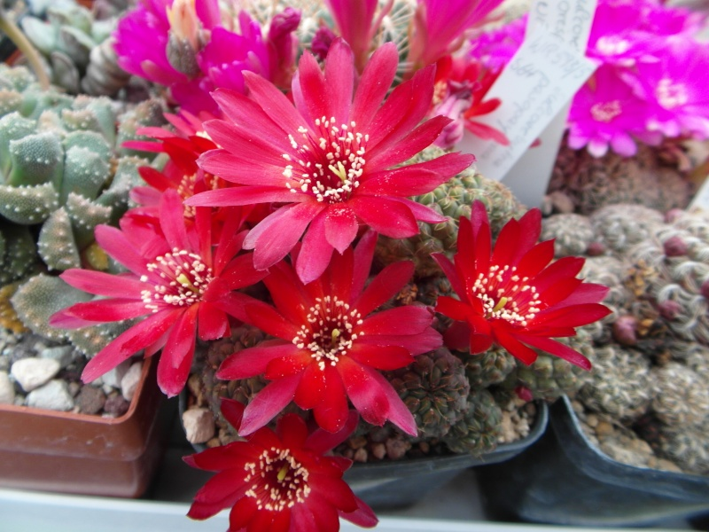 Cacti and Sukkulent in Köln, every day new flowers in the greenhouse Part 47 Bild_605