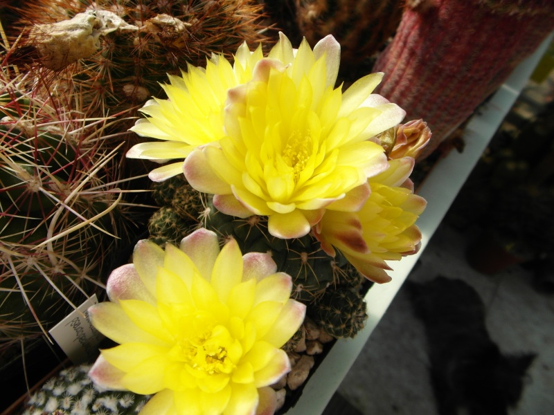 Cacti and Sukkulent in Köln, every day new flowers in the greenhouse Part 47 Bild_616