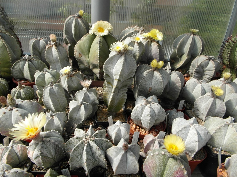 Cacti and Sukkulent in Köln, every day new flowers in the greenhouse Part 47 Bild_619