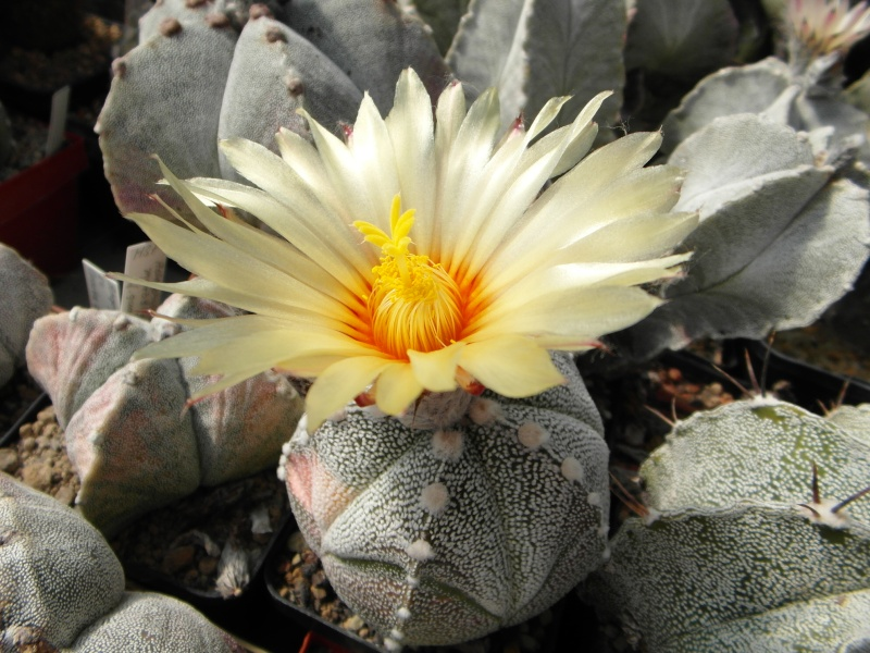 Cacti and Sukkulent in Köln, every day new flowers in the greenhouse Part 47 Bild_621