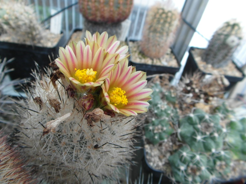 Cacti and Sukkulent in Köln, every day new flowers in the greenhouse Part 47 Bild_640