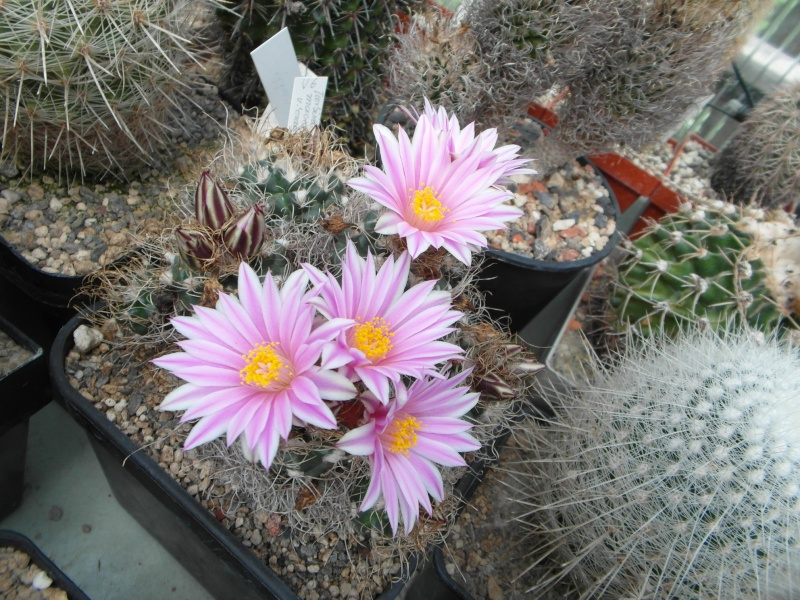 Cacti and Sukkulent in Köln, every day new flowers in the greenhouse Part 47 Bild_641