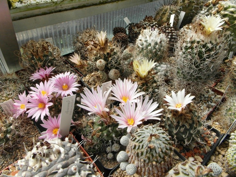 Cacti and Sukkulent in Köln, every day new flowers in the greenhouse Part 47 Bild_642