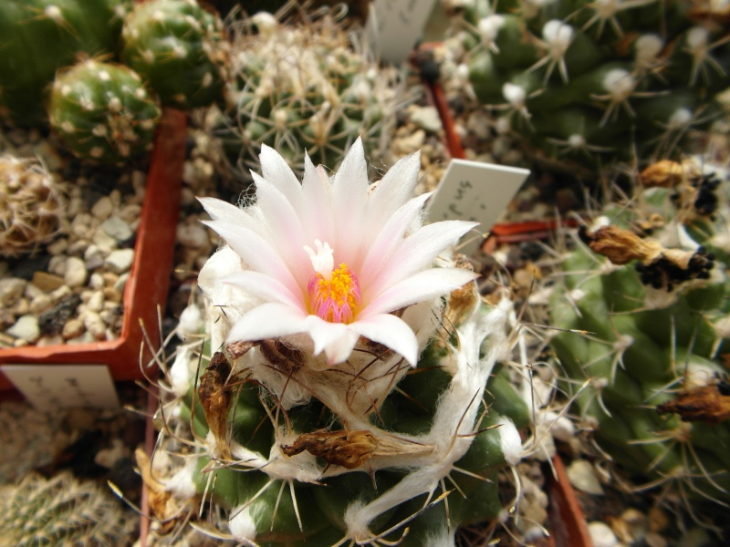 Cacti and Sukkulent in Köln, every day new flowers in the greenhouse Part 47 Bild_643