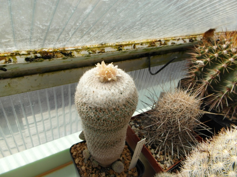Cacti and Sukkulent in Köln, every day new flowers in the greenhouse Part 47 Bild_648