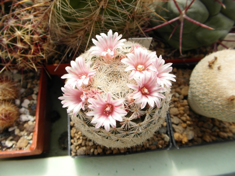 Cacti and Sukkulent in Köln, every day new flowers in the greenhouse Part 47 Bild_650