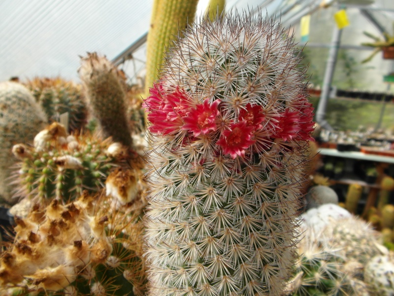Cacti and Sukkulent in Köln, every day new flowers in the greenhouse Part 47 Bild_651