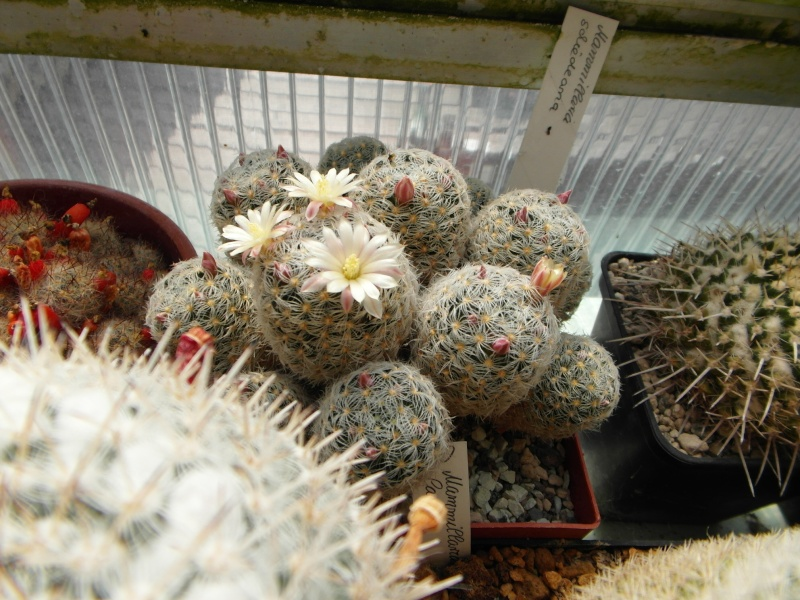 Cacti and Sukkulent in Köln, every day new flowers in the greenhouse Part 47 Bild_656