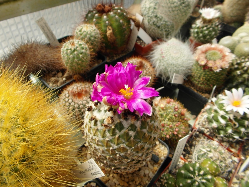 Cacti and Sukkulent in Köln, every day new flowers in the greenhouse Part 47 Bild_658