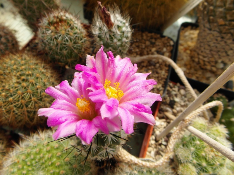 Cacti and Sukkulent in Köln, every day new flowers in the greenhouse Part 47 Bild_659
