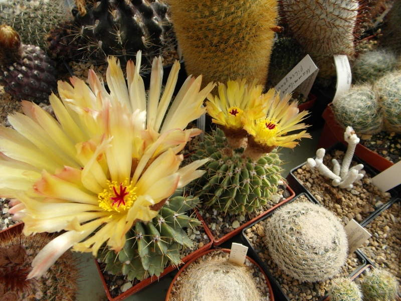 Cacti and Sukkulent in Köln, every day new flowers in the greenhouse Part 47 Bild_661