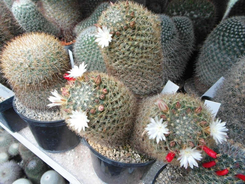 Cacti and Sukkulent in Köln, every day new flowers in the greenhouse Part 47 Bild_674