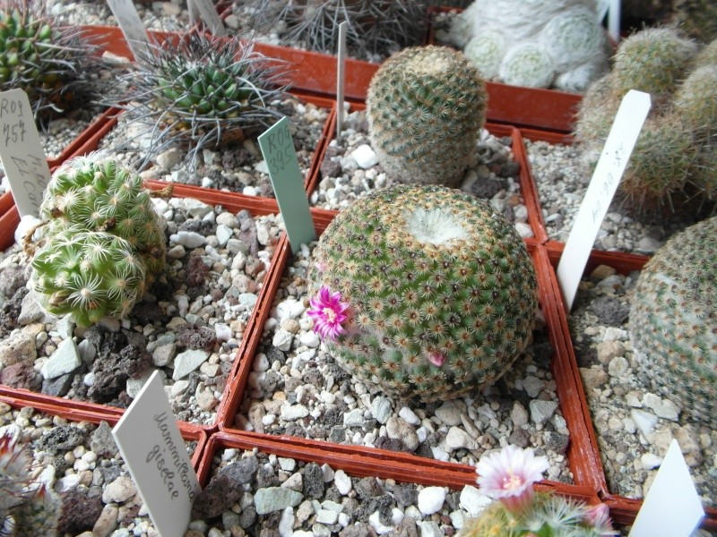Cacti and Sukkulent in Köln, every day new flowers in the greenhouse Part 47 Bild_676