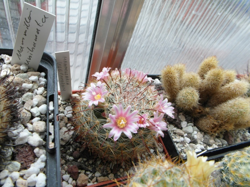 Cacti and Sukkulent in Köln, every day new flowers in the greenhouse Part 47 Bild_678