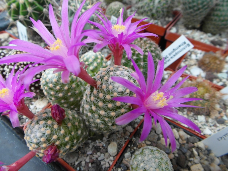 Cacti and Sukkulent in Köln, every day new flowers in the greenhouse Part 47 Bild_679