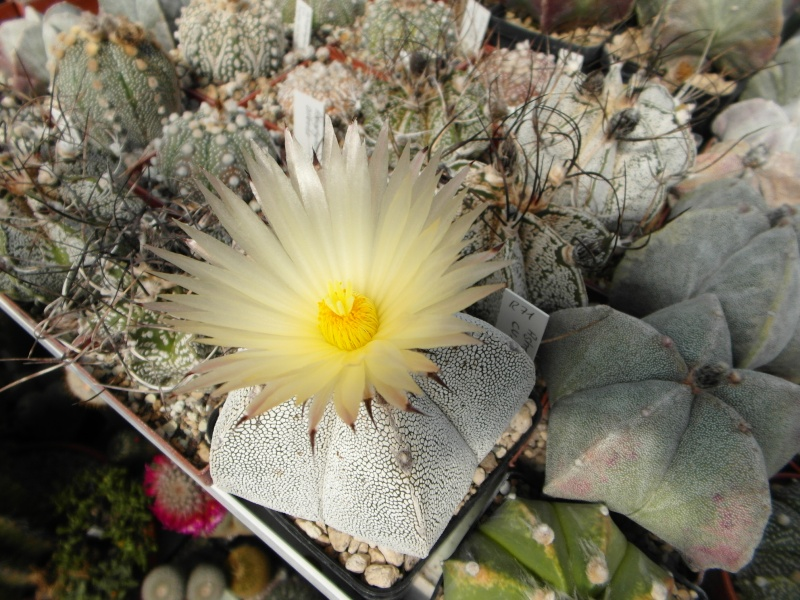 Cacti and Sukkulent in Köln, every day new flowers in the greenhouse Part 48 Bild_686