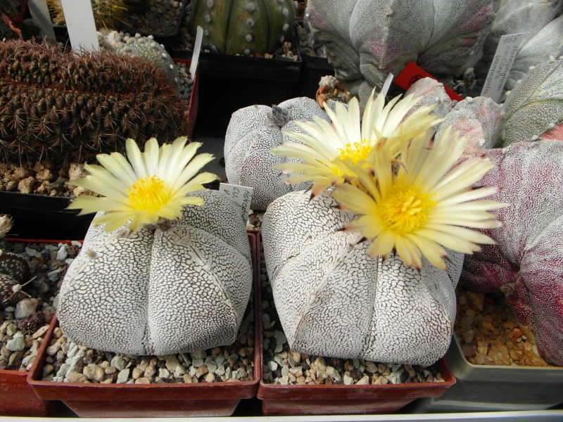 Cacti and Sukkulent in Köln, every day new flowers in the greenhouse Part 48 Bild_690