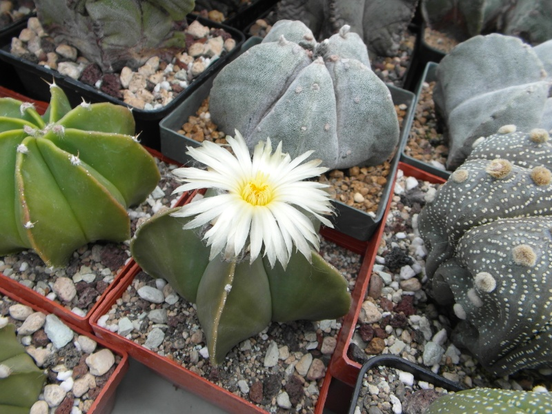 Cacti and Sukkulent in Köln, every day new flowers in the greenhouse Part 48 Bild_694
