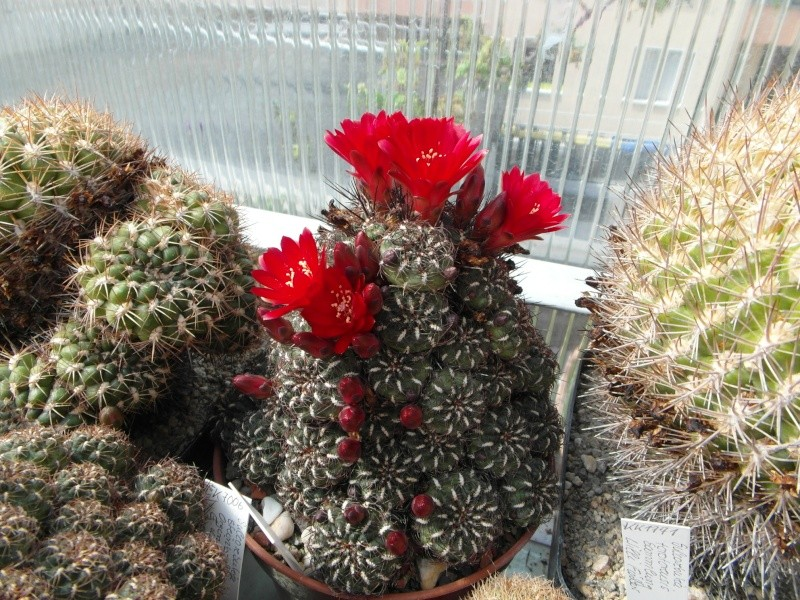 Cacti and Sukkulent in Köln, every day new flowers in the greenhouse Part 48 Bild_695