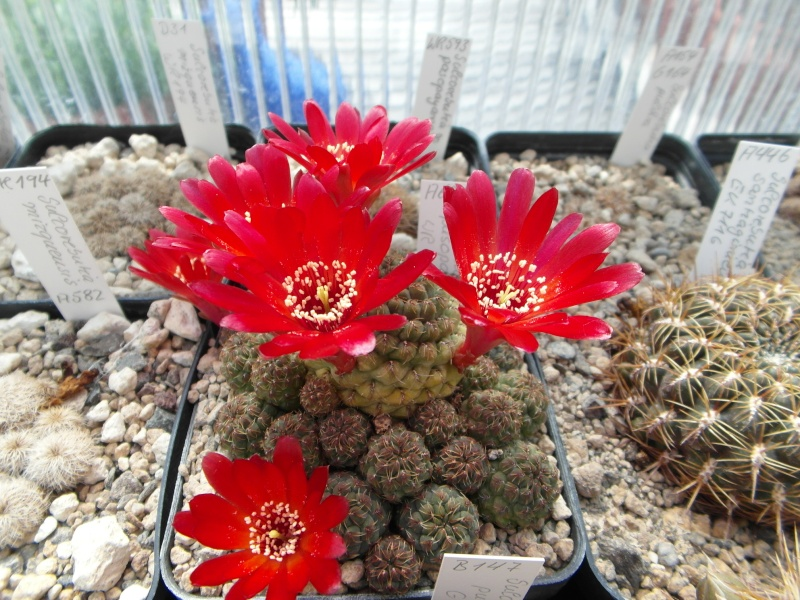 Cacti and Sukkulent in Köln, every day new flowers in the greenhouse Part 48 Bild_696