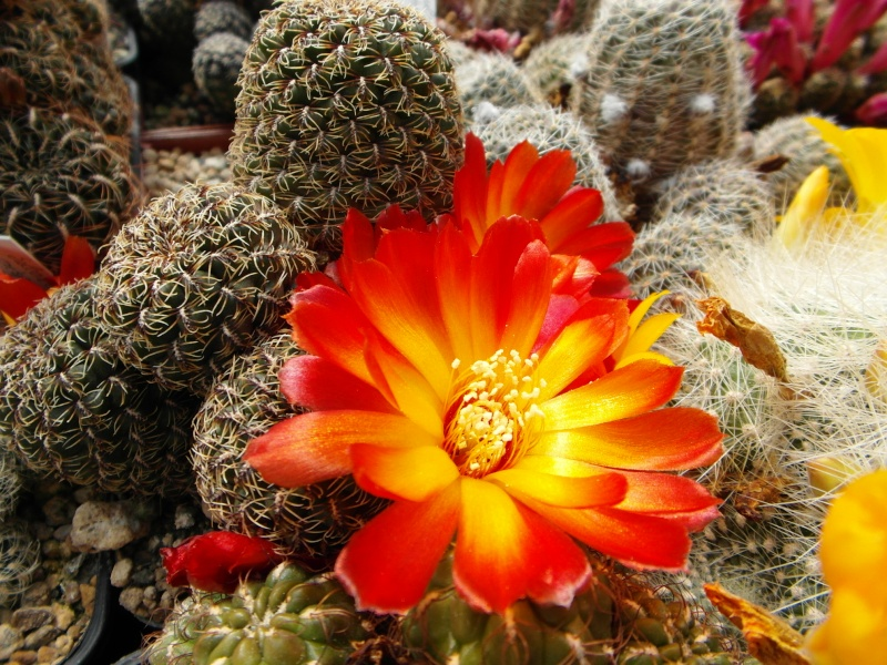 Cacti and Sukkulent in Köln, every day new flowers in the greenhouse Part 48 Bild_698