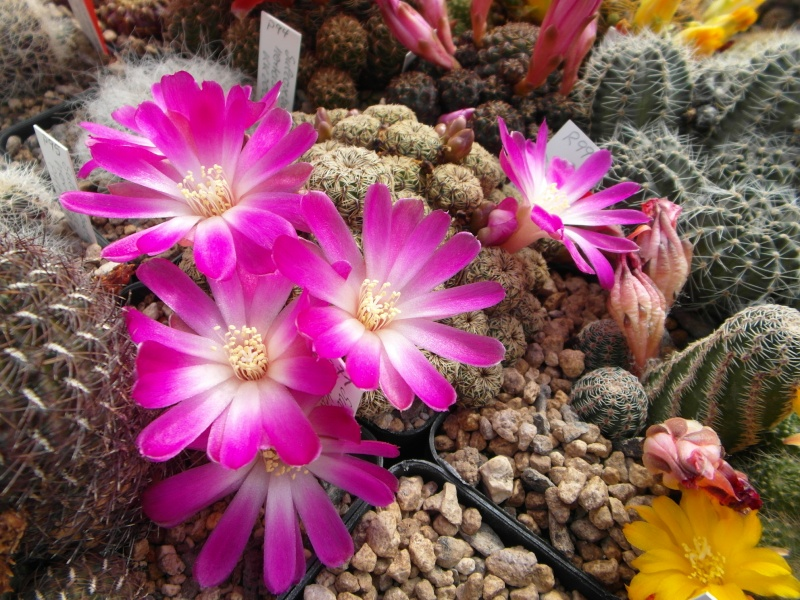 Cacti and Sukkulent in Köln, every day new flowers in the greenhouse Part 48 Bild_700