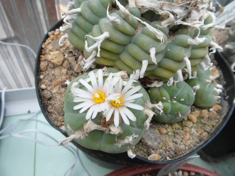 Cacti and Sukkulent in Köln, every day new flowers in the greenhouse Part 48 Bild_705