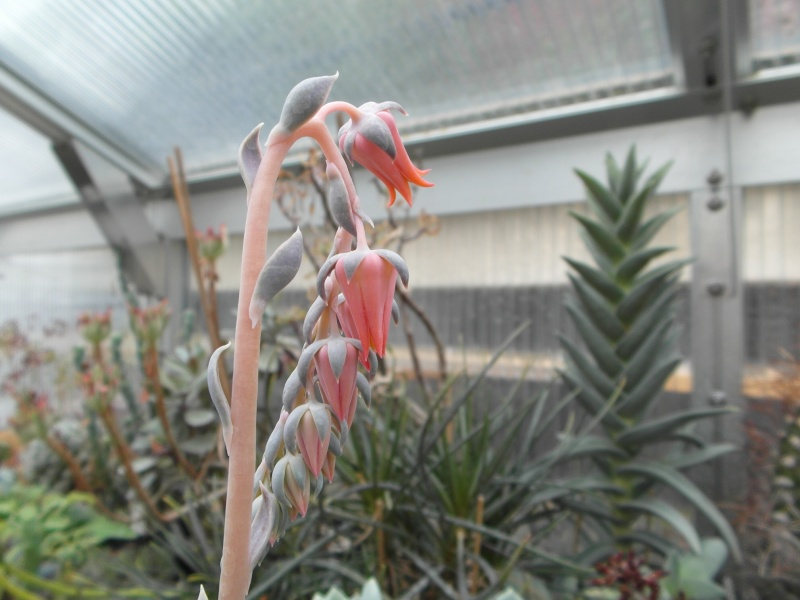Cacti and Sukkulent in Köln, every day new flowers in the greenhouse Part 48 Bild_723