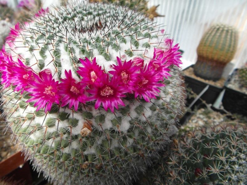 Cacti and Sukkulent in Köln, every day new flowers in the greenhouse Part 48 Bild_726