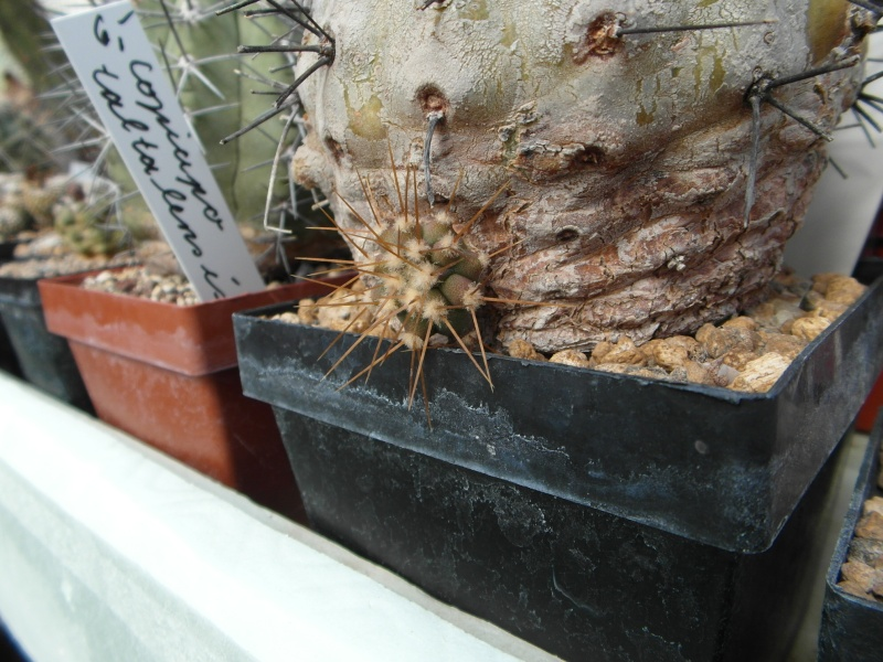 Cacti and Sukkulent in Köln, every day new flowers in the greenhouse Part 48 Bild_734