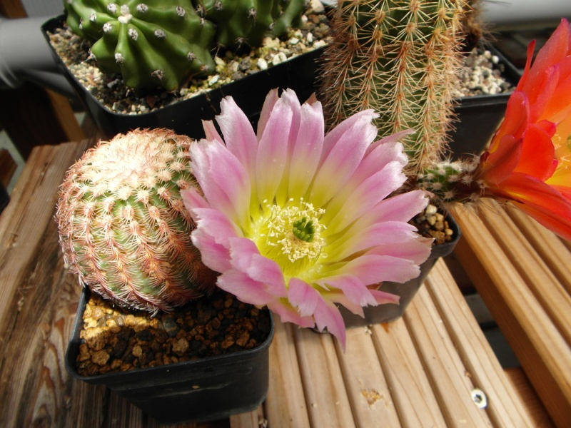Cacti and Sukkulent in Köln, every day new flowers in the greenhouse Part 48 Bild_741