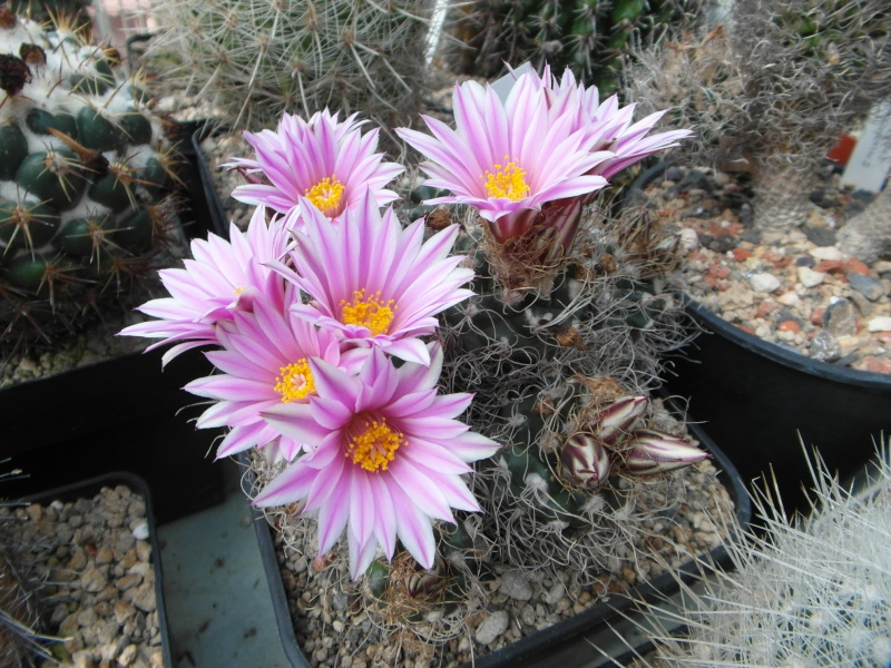 Cacti and Sukkulent in Köln, every day new flowers in the greenhouse Part 48 Bild_747
