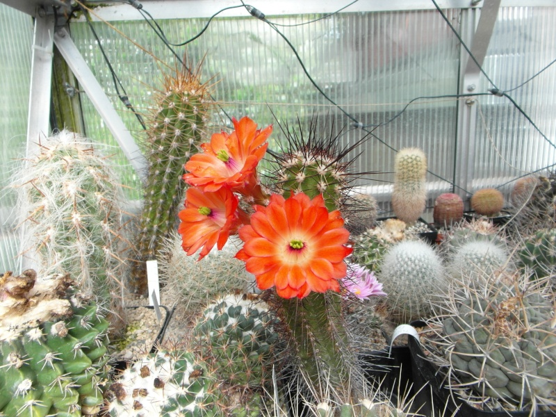 Cacti and Sukkulent in Köln, every day new flowers in the greenhouse Part 48 Bild_749