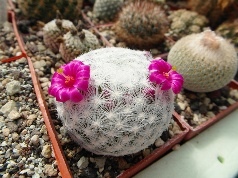 Cacti and Sukkulent in Köln, every day new flowers in the greenhouse Part 48 Bild_751