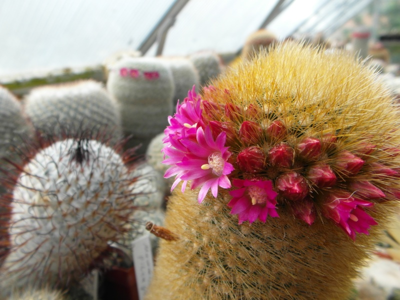Cacti and Sukkulent in Köln, every day new flowers in the greenhouse Part 48 Bild_754