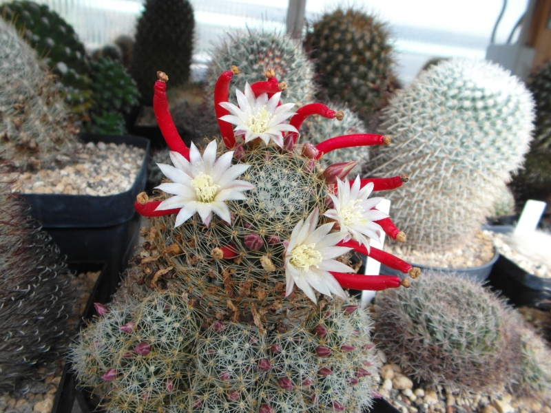 Cacti and Sukkulent in Köln, every day new flowers in the greenhouse Part 48 Bild_757