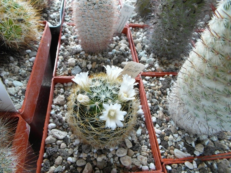 Cacti and Sukkulent in Köln, every day new flowers in the greenhouse Part 48 Bild_758