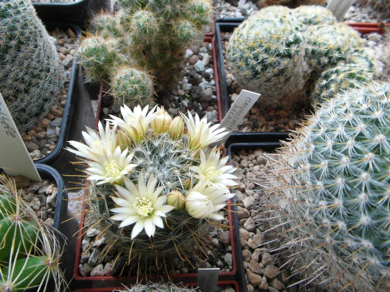 Cacti and Sukkulent in Köln, every day new flowers in the greenhouse Part 48 Bild_759